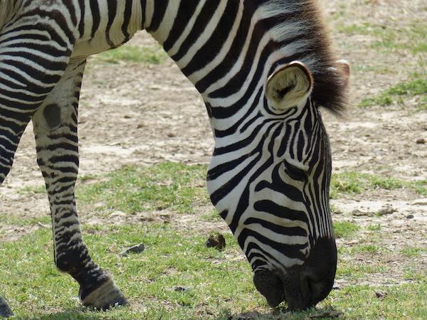 profils singuliers magali barcelo zebre